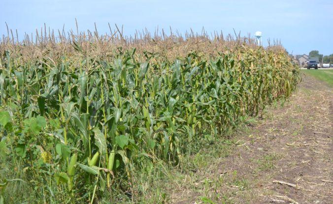 DSC_4232 corn field