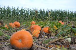 DSC_4245 pumpkin patch