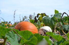 DSC_4255 pumpkins