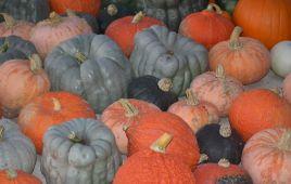 DSC_4342 pumpkin variety